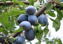 Dozrávají švestky: recepty ze švestek a zajímavosti o švestkách