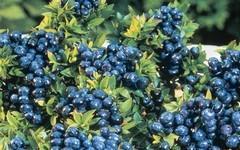 Čas na borůvky: borůvky, sladké ovoce plné vitamínů