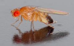 Vinné mušky octomilky: víme, jak se vinných mušek zbavit