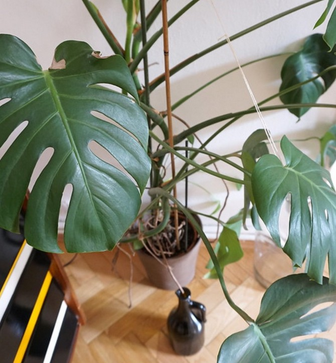 Monstery jsou tropické liány z rodu Áronovitých