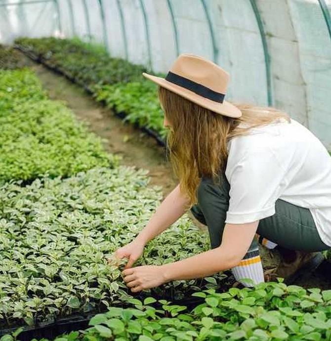 Ve sklenících přezimuje řada škůdců i chorob