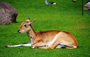 Antilopa voduška červená