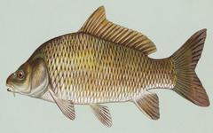 Kromě kapra si můžete pochutnat na dalších rybách