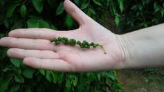 Pepřovník černý neboli Piper nigrum je stálezelená popínavá rostlina