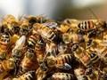 Kromě nedostatku medu tak hrozí i malá úroda
