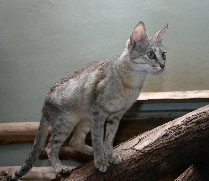 Kočka arabská je jedním z předků kočky domácí