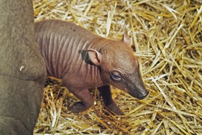Jde o druhou odchovanou babirusou v jihlavské zoo