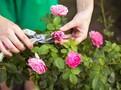 Růže dovedou být velmi náročné