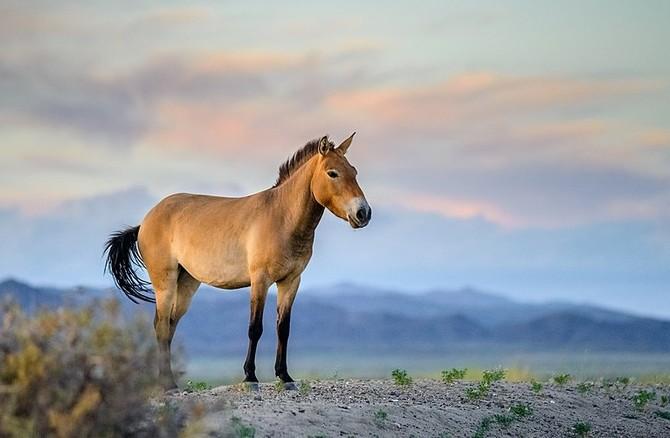 Do přírody v Mongolsku ZOO vrátila 30 těchto koní