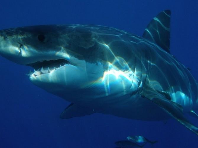V budoucnu bude více žraloků u evropských břehů