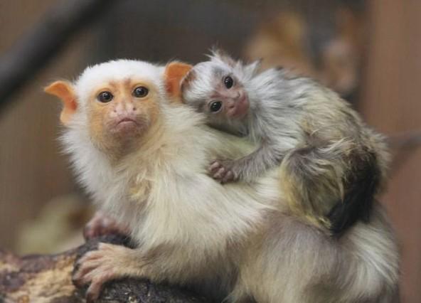 Kosmanovité opičky jsou přezdívané drápkaté