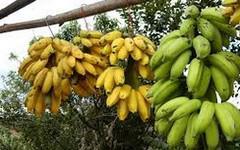 Banány v ohrožení, panamská nemoc ničí ovoce po celém světě
